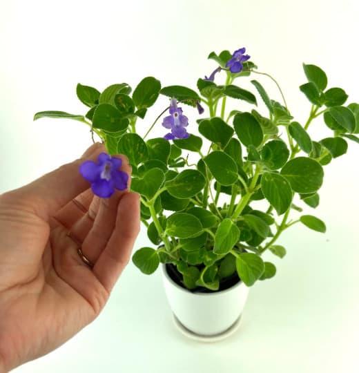 Concord Blue Streptocarpella House Plant, Plantly