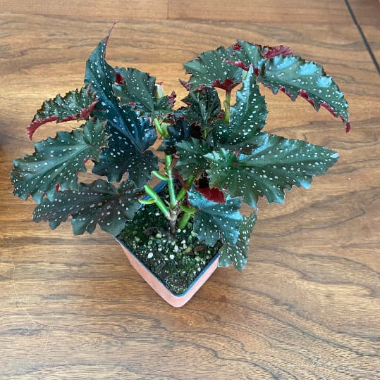 Cracklin Rosie Angel Wing Cane Begonia House Plant, Plantly