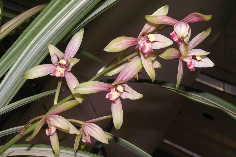 cymbidium ensifolium orchid