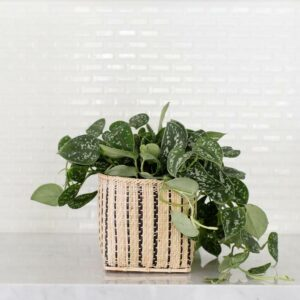 Satin pothos plant