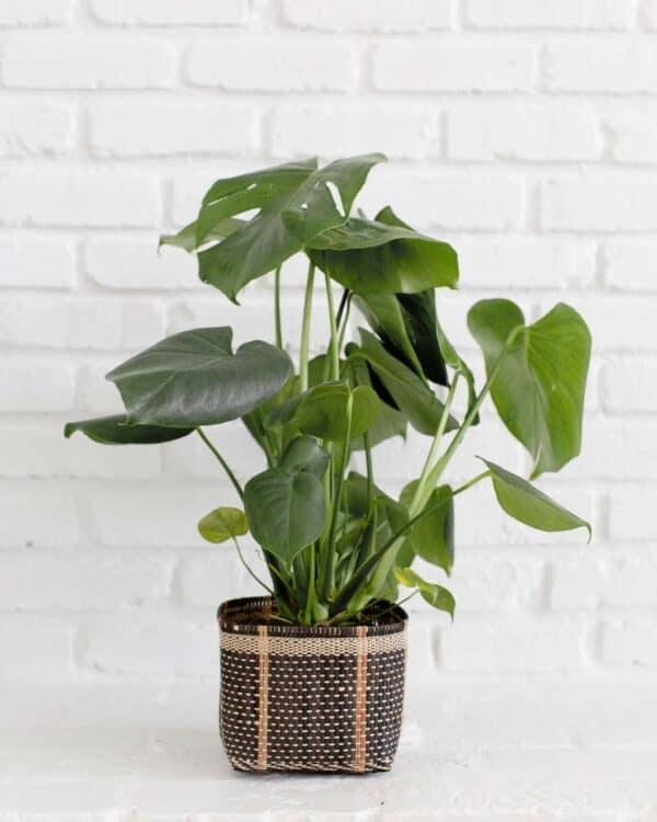 Monstera split plant