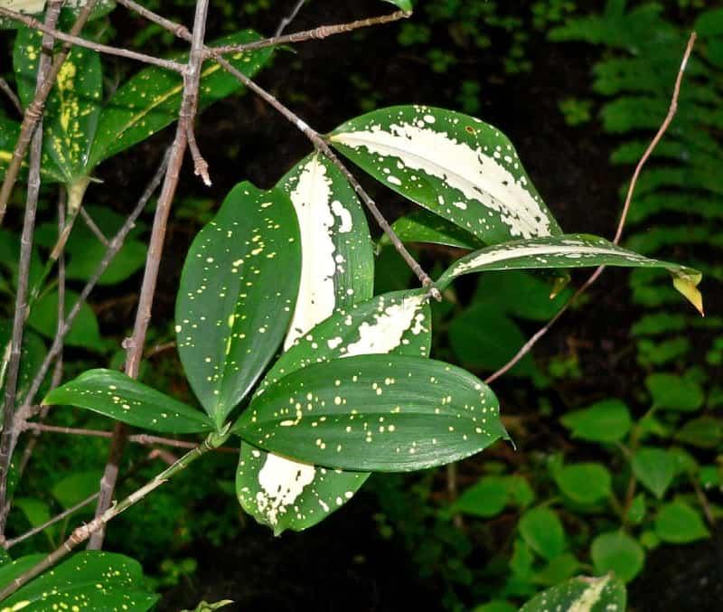 dracaena godseffiana plant