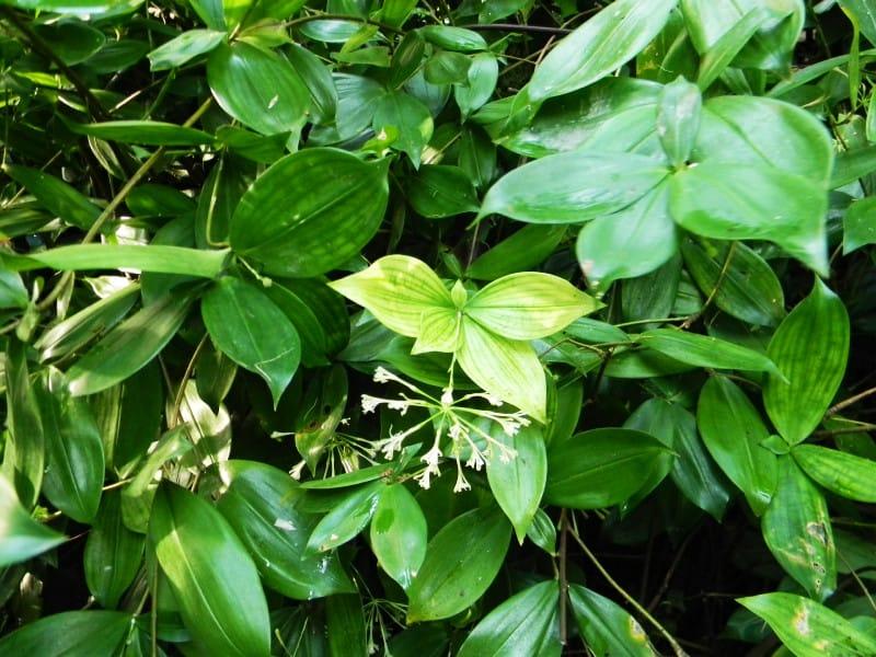 dracaena surculosa