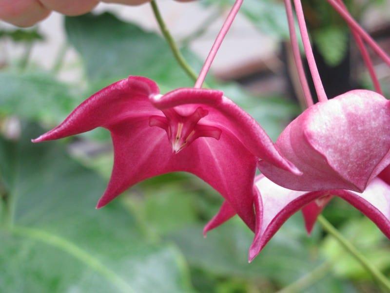 Hoya Macgillivrayi Plant