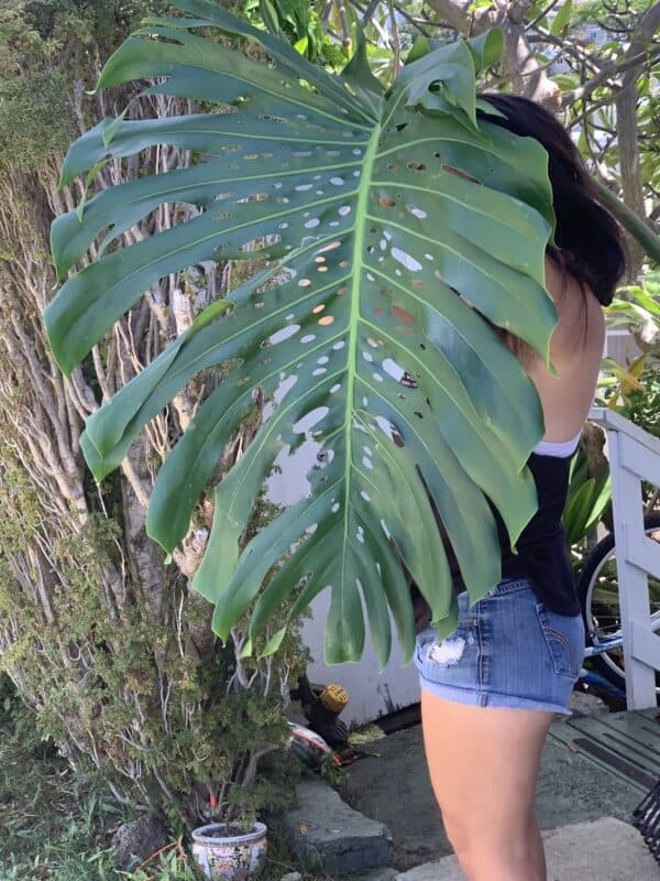 Rare Giant Hawaiian Fruit-Bearing Monstera Deliciosa Bare Root Cutting – 9 Inches, Plantly
