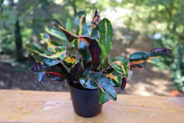 Codiaeum (Mamey Croton), Plantly