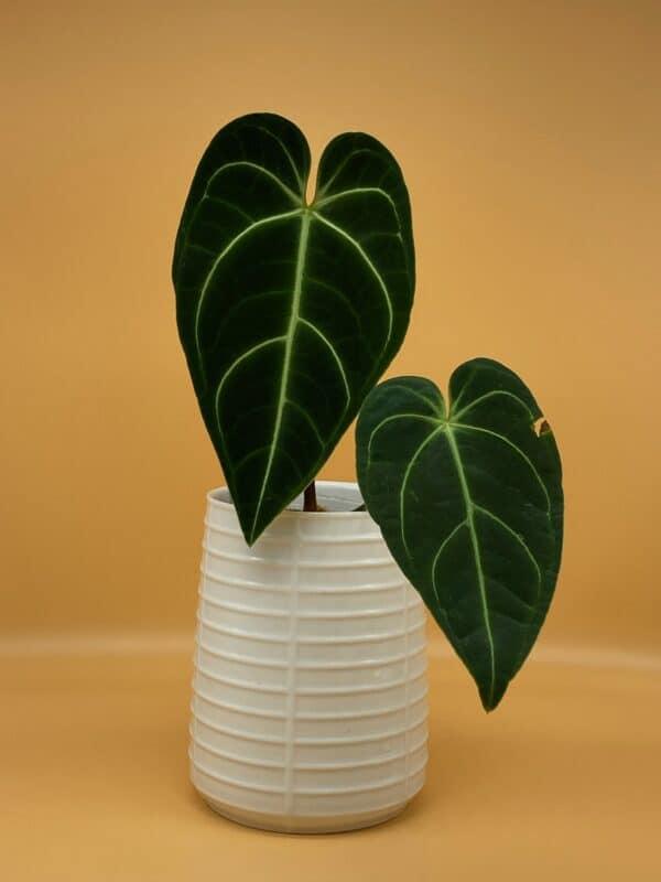 Two ldark velvety leaves with striking green veining in a white pot