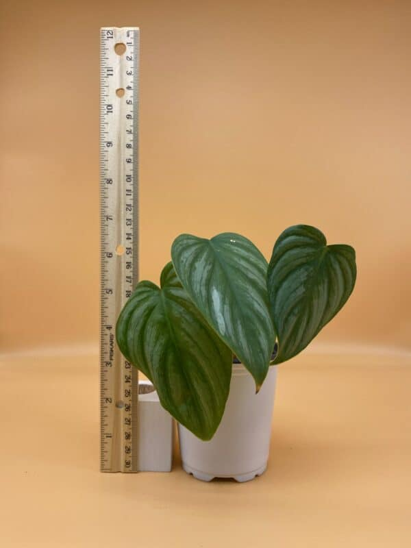 """Philodendron Pastazanum 'Silver Snow"""", Plantly"""