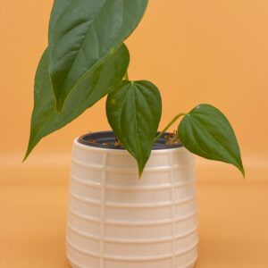 5 green glossy leaves in white pot