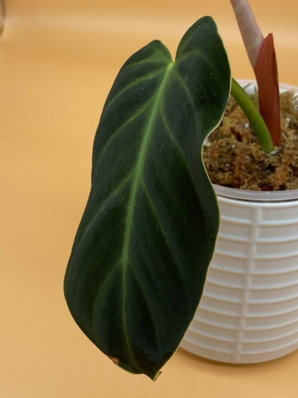 Philodendron Luxurians, Plantly