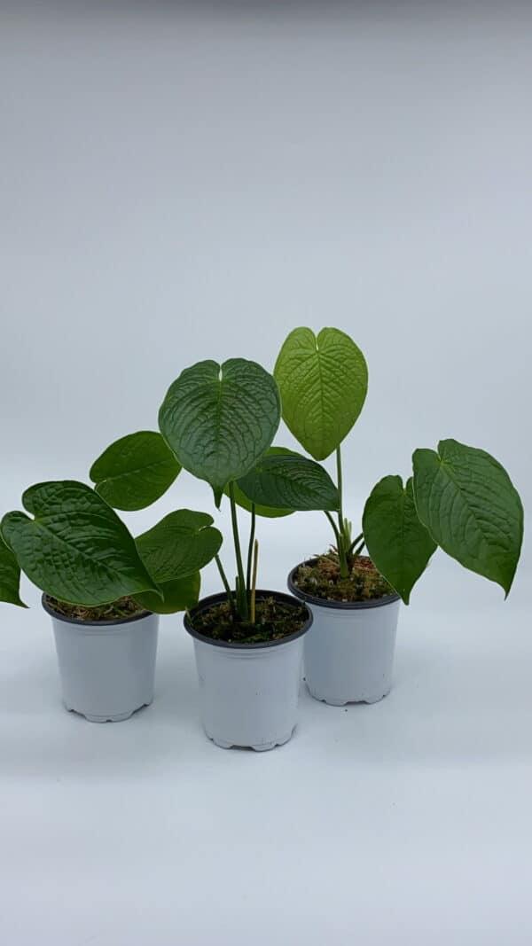 Anthurium Rugulosum, Plantly