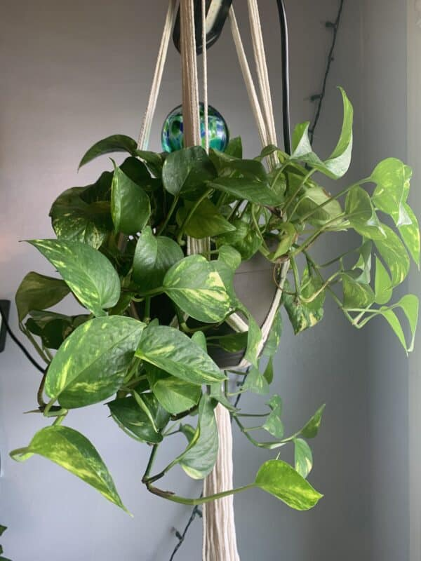 Golden Pothos Fully Rooted Clipping, Plantly