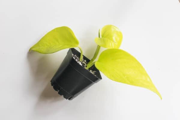 Neon Pothos   Epipremnum Aureum, Plantly