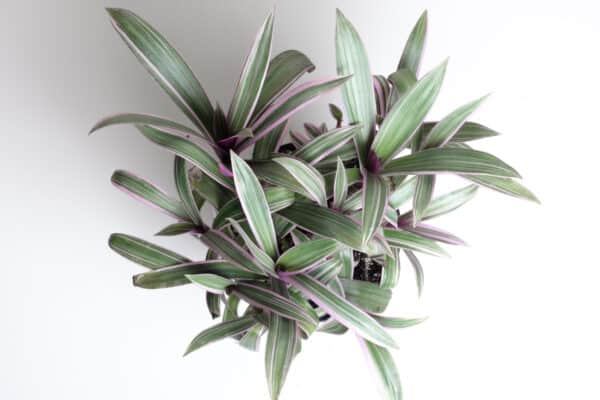 Tradescantia | Rhoeo spathacea | Boat Lily, Moses in a Basket, Plantly