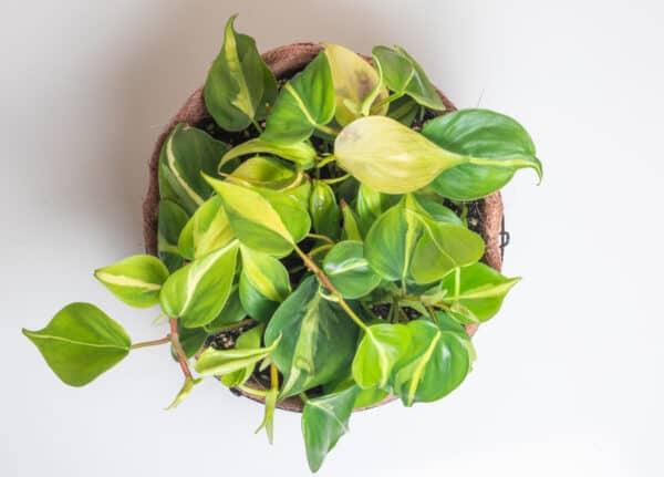 Brazil Pilodendron, Plantly