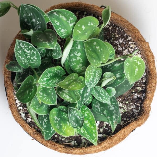 Scindapsus Pictus Argyraeus   Satin Pothos, Plantly