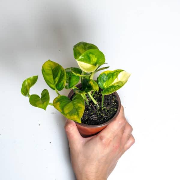 Global Green Pothos | Epipremnum Aureum, Plantly