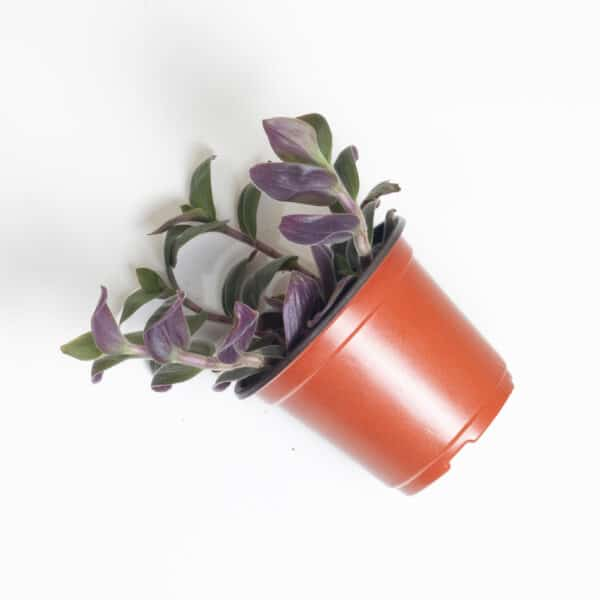 Tradescantia chrysophylla | Baby Bunny Bellies, Plantly