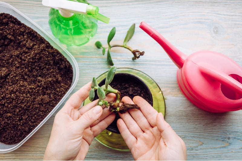 Jade Plant Stem Propagation