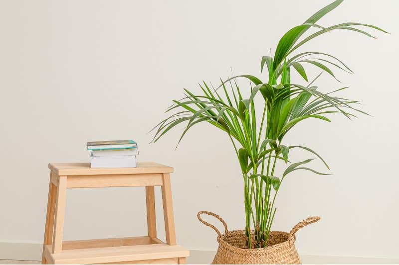 Kentia Palm plant
