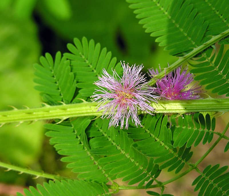 mimosa diplotricha plant