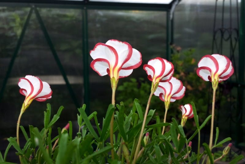 candy cane plant