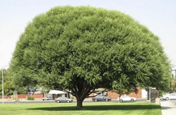 4 Globe Willow Umbrella Tree Cuttings – Easy starts 8-12″, Plantly