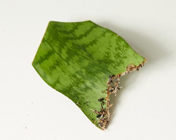 Sansevieria Snake Plant – Laurentii or Robusta – Chonk or Starter Plant, Plantly
