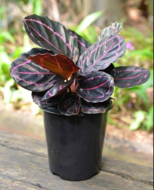 Calathea Roseopicta 'Dottie', Plantly