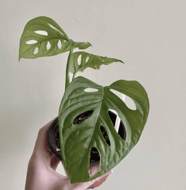 Monstera Adansonii (Wide Form), Plantly