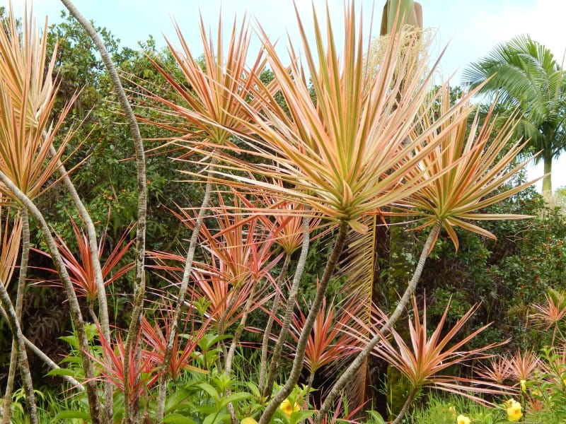 Dracaena marginata 'Colorama'
