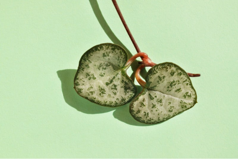 string of hearts plant leaves