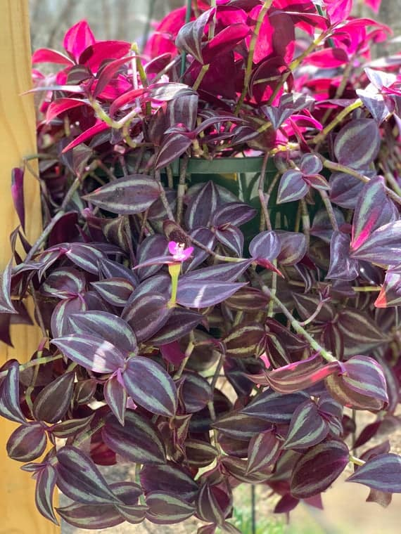 Burgundy Tradescantia Zebrina | Zebrina pendula | Inch Plant, Plantly