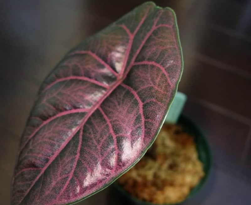 alocasia azlanii plant