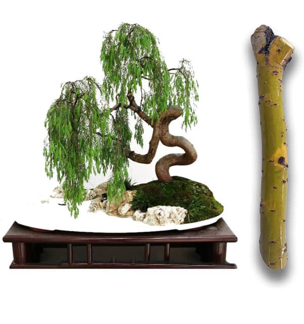 Green Dragon Dwarf Australian Bonsai Willow Tree Cutting Kit – Thick Trunk Live Bonsai Tree, Plantly