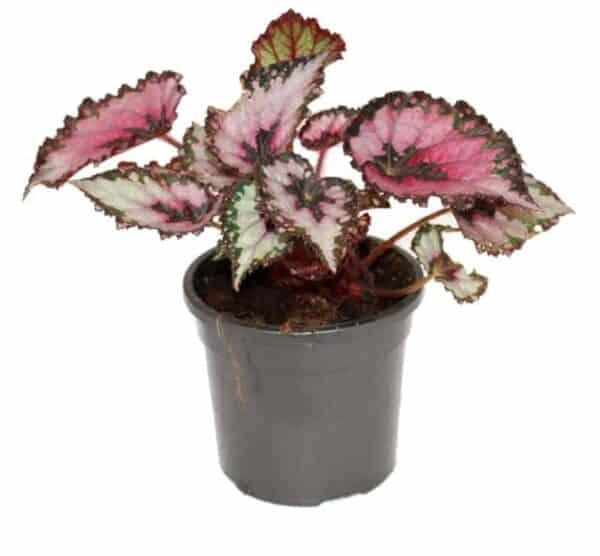 Begonia rex-cultorum, Plantly