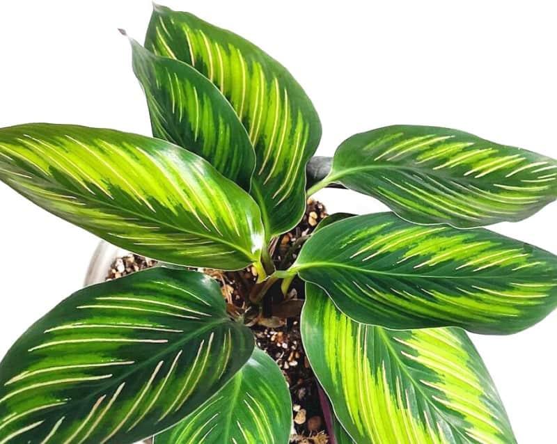 calathea beauty star plant