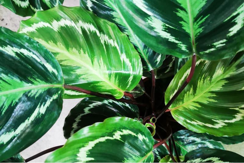calathea medallion plant