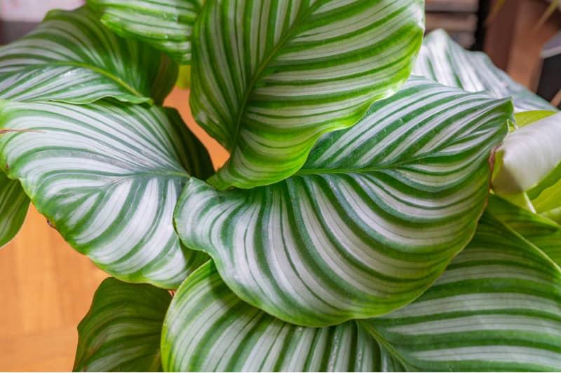 calathea orbifolia plant