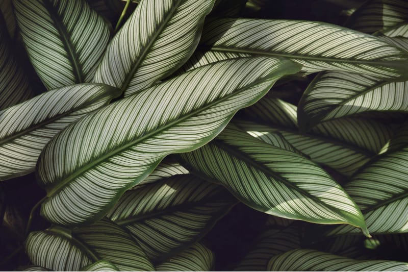 calathea vittata plant