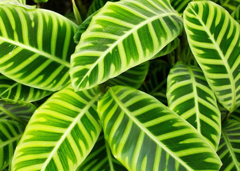 calathea zebrina plant