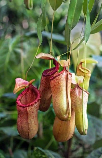 Pitcher Plant – Nepenthes