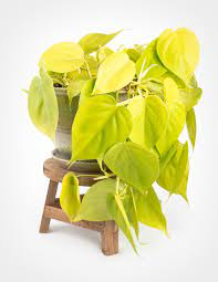Philodendron Cordatum   Neon Heartleaf Philodendron, Plantly