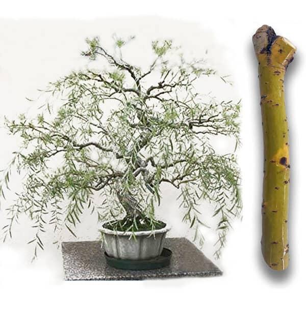 Green Dwarf Australian Bonsai Willow Tree – Cutting Kit – Live Bonsai Tree, Plantly