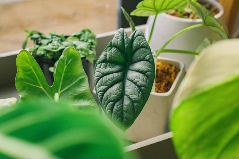 alocasia dragon scale plant