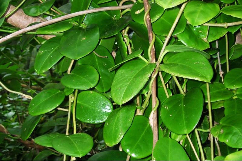 hoya australis plant