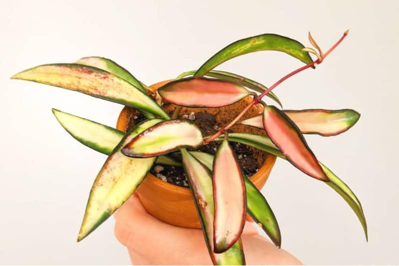 hoya kentiana plant
