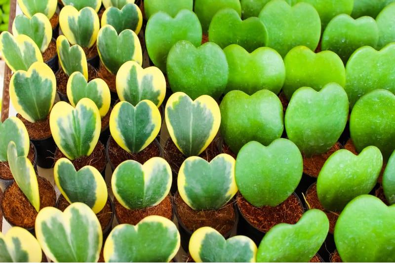 hoya kerri plant