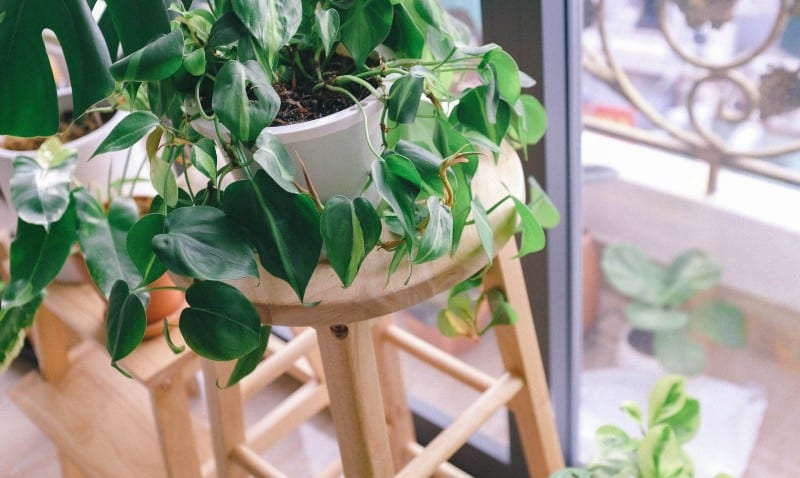 philodendron micans plant