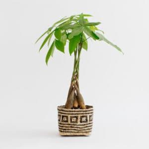 Braided money tree plant